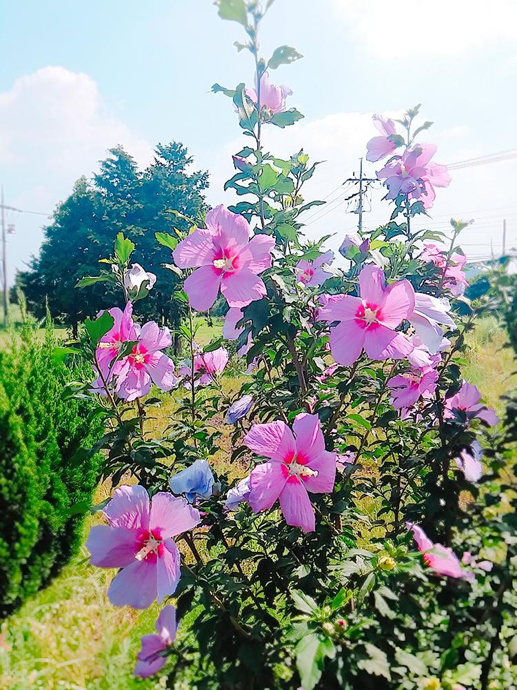 제주도 이기풍선교기념관 길에 활짝 핀 무궁화 꽃01.jpg