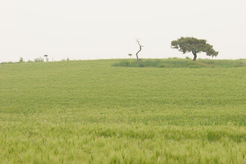 청보리밭-2.jpg