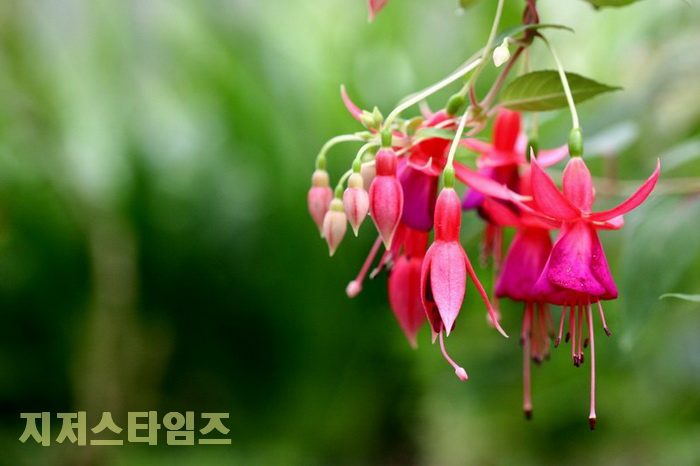 초롱꽃0202.jpg